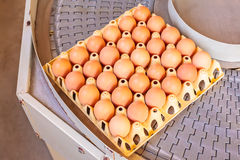 Conveyor belt transporting crates with fresh eggs. On an organic chicken farm Royalty Free Stock Photo