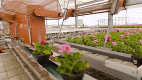 Conveyor in a large modern greenhouse, automated machine in a greenhouse for growing flowers stock footage