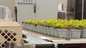 Conveyor line in a modern greenhouse, greenhouse with an automated conveyor, flowers in pots on a conveyor stock footage
