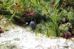 Convict blenny. Floating in water royalty free stock photo