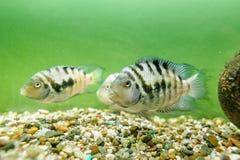 Convict cichlid fish Stock Photo