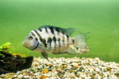Convict Cichlid fish Stock Photography