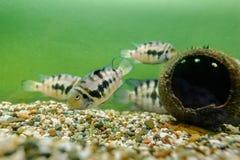 Convict Cichlid fish Royalty Free Stock Photos