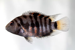 Convict cichlid (Zebra cichlid) Royalty Free Stock Photos