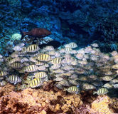 Convict Fish seen while swimming off the Big Island, Hawaii Royalty Free Stock Image