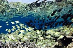 Convict surgeon fish Acanthurus triostegus shoal Stock Image