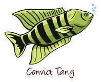 Convict Tang, Color Illustration Stock Photo