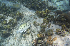 Convict tang is a small surgeonfish in family Royalty Free Stock Photo