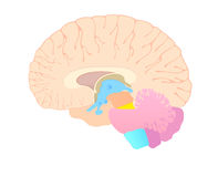 Convolutions of the brain in section Royalty Free Stock Photos