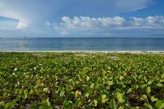 Convolvolo che cresce sulla spiaggia fotografia stock