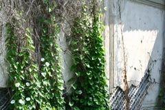 Convolvolo e vecchia parete corrotta della casa Fotografia Stock