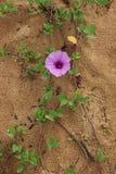 Convolvolo sulla sabbia Fotografia Stock Libera da Diritti