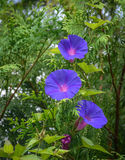 Convolvulaceae flowers Royalty Free Stock Photos