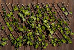 Green leaves of the creeper on the wall Stock Photos