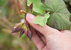Convolvulaceae - Merremia vitifolia Royalty Free Stock Photos