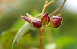 Convolvulaceae - Operculina turpethum Stock Images