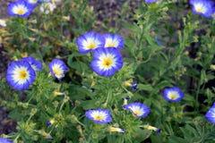 Convolvule tricolore Photo stock