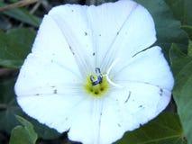Convolvulous arbustivo o plateado - cneorum de la enredadera fotos de archivo