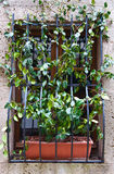 Convolvulus. Window on the Facade of the Restored Italian Home Stock Photos