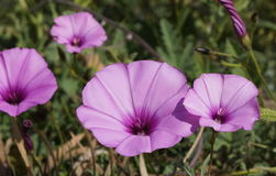 Convolvulus althaeoides flowers. Pink mallow bindweed or mallow-leaved bindweed flowers Royalty Free Stock Images