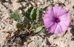 Convolvulus althaeoides, Sicily, Italy, Royalty Free Stock Photo