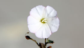 Convolvulus arvensis, Field bindweed Stock Photos