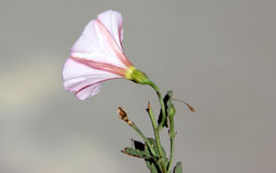 Convolvulus arvensis, Field bindweed Stock Photography