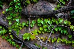 Convolvulus arvensis viola Fotografia Stock