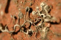 Convolvulus arvensis viola fotografia stock libera da diritti