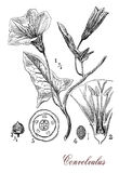 Convolvulus flowering plant, botanical vintage engraving Royalty Free Stock Photos