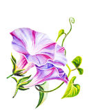 Convolvulus flowers. Watercolor painting. Royalty Free Stock Images