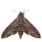 Convolvulus Hawk-moth, (Agrius convolvuli) Stock Photo