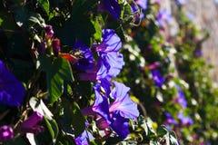 Convolvulus plant Royalty Free Stock Photo