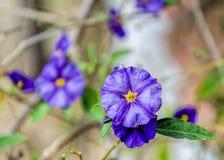 Convolvulus sabatius. Blue compactor, Convolvulaceae, Mediterranean coast Royalty Free Stock Photos