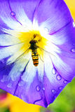 Convolvulus tricolor with a bee Stock Photos