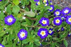 Convolvulus tricolor blossom Stock Photos