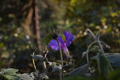 Convolvulus violet flowering plant. Bindweed Royalty Free Stock Photography