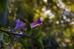 Convolvulus violet flowering plant. Bindweed royalty free stock image