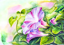 Convolvulus. Watercolor painting. Stock Images