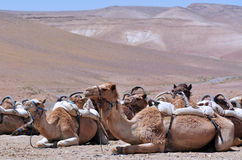 Convoy of Camels rest during a desert voyage Stock Image