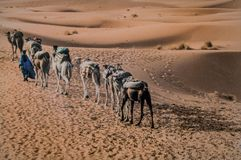 Convoy of camels in the sahara desert. Tuareg land in morocco a convoy of camels transporting products across the sahara desert Stock Photo