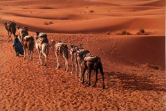 Convoy of camels in the sahara desert. Tuareg land in morocco a convoy of camels transporting products across the sahara desert Royalty Free Stock Image