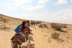 A convoy in the desert. A convoy of camels with riders in the desert of Israel Royalty Free Stock Photography