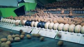 Convoyeur de roulement avec les tubercules poussiéreux de pomme de terre clips vidéos