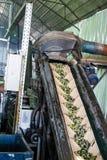Convoyeur pour les olives de lavage Photographie stock