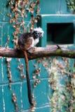 CONWY, WALES/UK - 8 DE OUTUBRO: tamarin da Algodão-parte superior (oedip de Saguinus Fotografia de Stock