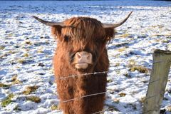 Highland Coo. Coo, Cow, Cattle, Highland  Winter Stock Photos