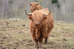 The Coo Queue Stock Photography