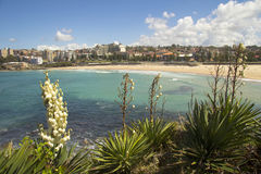 Coogee Beach with Yucca FLowers Royalty Free Stock Image