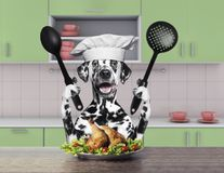 Cook dalmatian dog sitting in the kitchen. And going to eat Royalty Free Stock Images